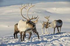 驯鹿在自然环境,特罗姆瑟地区,北挪威里 免版税图库摄影