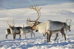 驯鹿在自然环境,特罗姆瑟地区,北挪威里 免版税库存图片