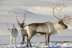 驯鹿在自然环境,特罗姆瑟地区,北挪威里 免版税库存照片