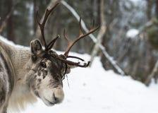 驯鹿在芬兰 免版税库存图片