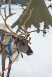 驯鹿在芬兰 库存图片