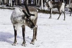 驯鹿在芬兰 库存照片