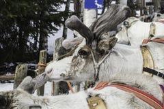 驯鹿在芬兰 免版税库存照片