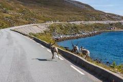 驯鹿在芬马克郡,挪威 库存照片