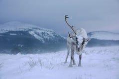 驯鹿在苏格兰 免版税库存照片