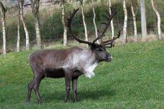 驯鹿在Cairngorms国家公园 免版税库存照片