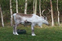 驯鹿在Cairngorms国家公园 免版税图库摄影