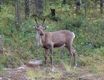 驯鹿年轻人 免版税库存照片