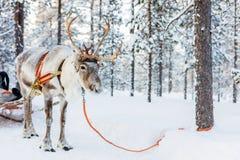 驯鹿徒步旅行队 免版税库存照片