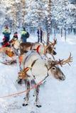 驯鹿徒步旅行队 库存照片