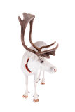 驯鹿或北美驯鹿,在白色背景 免版税库存图片