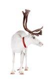 驯鹿或北美驯鹿,在白色背景 图库摄影