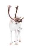 驯鹿或北美驯鹿,在白色背景 库存照片