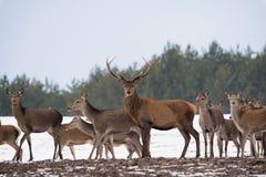 驯鹿有直站和看您的大鹿角的雷德迪尔小牧群在活动中和一个成人大型装配架 成人红色D 免版税库存照片