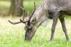 驯鹿查寻在草甸的食物 免版税库存照片