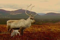驯鹿母牛和小牛在苏格兰 免版税库存照片