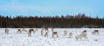 驯鹿牧群吃 库存照片