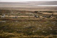 驯鹿牧群在寒带草原的在瑞典 免版税库存图片