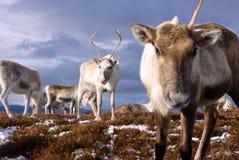 驯鹿牧群在苏格兰 库存照片