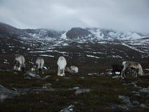 驯鹿牧群在苏格兰 库存图片
