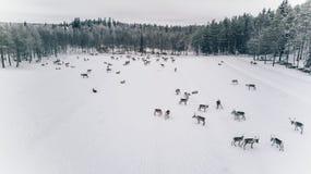 驯鹿牧群鸟瞰图在冬天拉普兰芬兰 库存照片