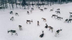 驯鹿牧群鸟瞰图在冬天拉普兰芬兰 免版税库存照片