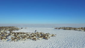驯鹿牧群鸟瞰图,在雪跑在寒带草原 影视素材