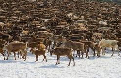驯鹿牧群  图库摄影