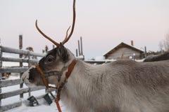 驯鹿被画的雪橇在冬天 库存图片