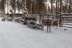 驯鹿被画的雪橇在冬天 库存照片