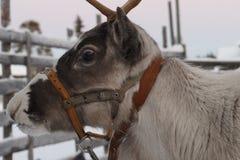 驯鹿被画的雪橇在冬天 免版税库存图片