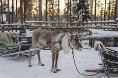 驯鹿被画的雪橇在冬天 免版税库存照片