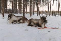 驯鹿被画的雪橇在冬天 免版税图库摄影