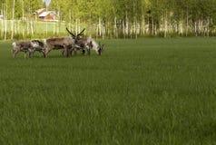 驯鹿观看 图库摄影