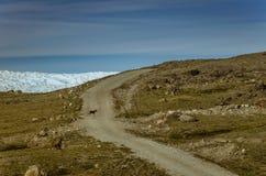 驯鹿跑横跨土路的在格陵兰冰盖附近,点660,Kangerlussuaq,格陵兰 免版税库存照片