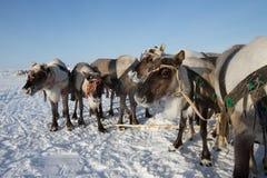 驯鹿队在冷淡的冬天早晨 Yamal 免版税图库摄影