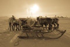 驯鹿队在yurts背景的  Yamal 库存图片