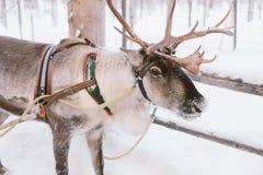 驯鹿雪橇乘驾在拉普兰 免版税库存照片