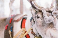 驯鹿雪橇乘驾在拉普兰 免版税库存图片