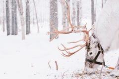 驯鹿雪橇乘驾在拉普兰 图库摄影