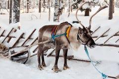 驯鹿雪橇 库存图片
