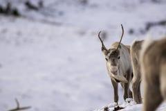 驯鹿,驯鹿属tarandus,吃草,搜寻在雪在小山的一个有风冷的冬日在cairngorms国家公园, 免版税图库摄影