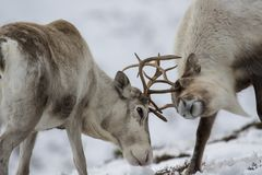 驯鹿,驯鹿属tarandus,吃草,搜寻在雪在小山的一个有风冷的冬日在cairngorms国家公园, 免版税库存图片