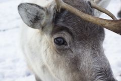 驯鹿,驯鹿属tarandus,吃草,搜寻在雪在小山的一个有风冷的冬日在cairngorms国家公园, 图库摄影