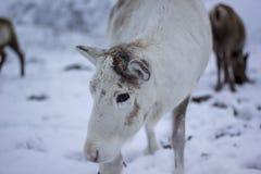驯鹿,驯鹿属tarandus,吃草,搜寻在雪在小山的一个有风冷的冬日在cairngorms国家公园, 免版税库存照片