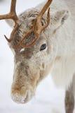 驯鹿头关闭 免版税库存图片