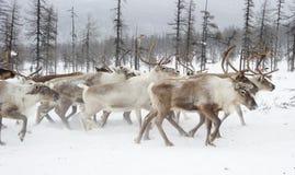 驯鹿 冬天 雅库特 图库摄影