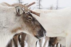 驯鹿 冬天 雅库特 库存照片