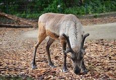 驯鹿-吃 免版税库存图片