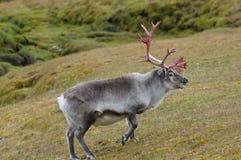 驯鹿-斯瓦尔巴特群岛-挪威 免版税库存图片